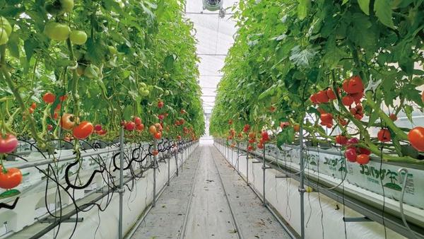 ベルファームでは約20万平方メートルの敷地に20棟近くのハウスを設置し年間約700トンのトマトを生産している。主力は、糖度が5~6度と高い大玉の「あかでみトマト」(提供:ベルファーム)
