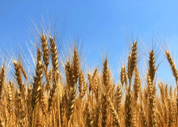 パンなどに使われる強力系小麦を中心に、国産小麦の生産が全国各地で増えている(提供:茨城パン小麦栽培研究会)