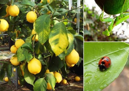 河合果樹園のハウス内で、カマキリやテントウムシなど30種類以上の天敵昆虫を駆使して栽培されているレモン。(写真提供:3点とも河合浩樹さん)