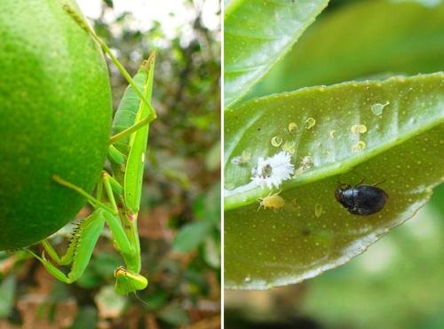 河合さんが「仕事のパートナーとして働いてもらっている」と言う天敵昆虫たち。写真は河合さんが主力と呼ぶカマキリ(左)。そして長く活躍してくれるコクロヒメテントウ(上)。図鑑にも技術書にも書かれていないような天敵昆虫と害虫の関係を発見しては日々楽しんでいる自分がいるという。(写真提供:河合浩樹さん)