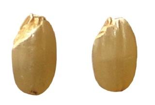 巨大胚芽米「金のいぶき」。胚芽部分が通常の品種(右)の3倍ほどもある。(写真提供:金のいぶき)
