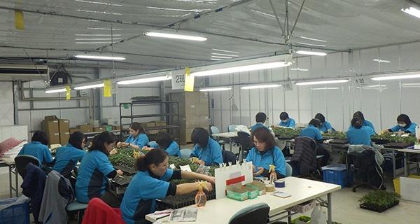 接ぎ木の作業。ベルグ福島の野菜苗生産のキモになる重要な作業 (写真:ベルグ福島)