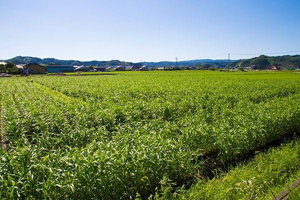 JA氷見市の農業生産法人「JAアグリひみ」がハトムギを生産する圃場(農地)。10月の刈り入れに向けてハトムギが順調に生育している(写真:佐藤久)