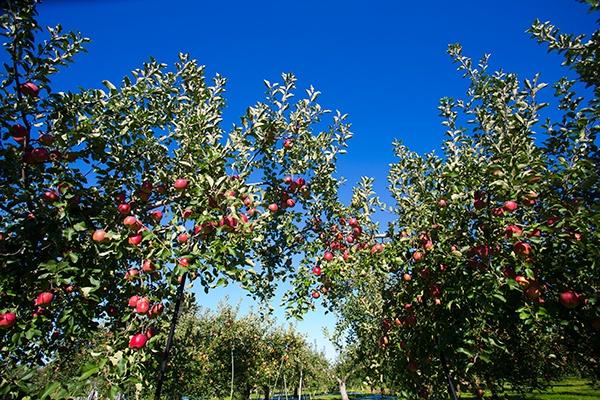青森県弘前市にある田沢農園(園主  田澤俊明さん)のりんご畑。赤、黄色の様々なりんごが実を付けている(写真:佐藤久)