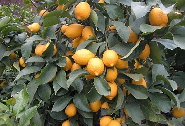 収穫期、たわわになった大長レモン。広島県におけるレモン生産の最大量を占める