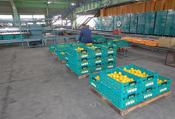 広島から遠く離れた長野県JAあづみの倉庫で、低温貯蔵を待つ大長レモン