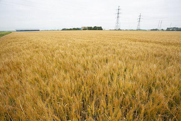 一面に広がる「ゆめちから」の麦畑。北海道恵庭市にて撮影