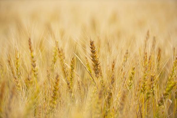 「ゆめちから」の穂先。北海道初の超強力小麦優良品種である