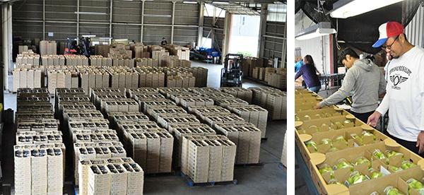 JA中野市のぶどう集出荷センターにおける「シャインマスカット」の選果風景