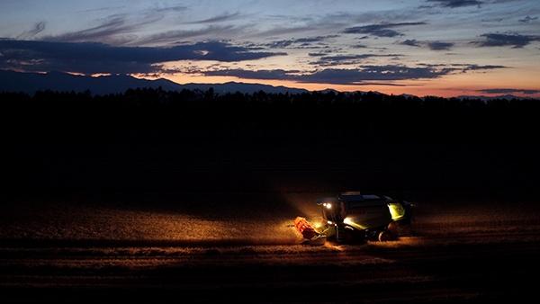 収穫時期は7月末からの7日間程。日が暮れてもコンバインが走り続ける