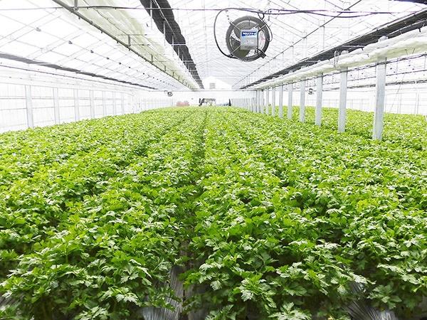 ハウス内で栽培中の山形セルリー。厳格な温度・湿度管理によって品質が保たれる