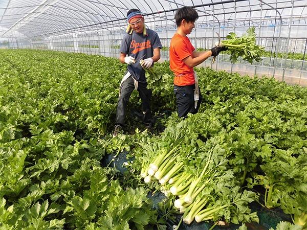 栽培ハウスでのセルリー収穫風景。左は新規就農者の一人である一條克之氏