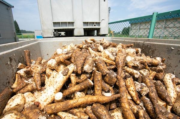 毎日出るナガイモ残渣が平均4.6t。費用のすべてが生産者の負担となる