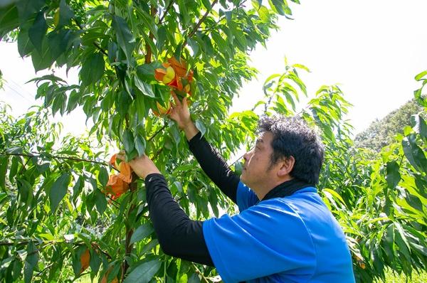 品質向上のため、桃の生産方法の改良を重ねている