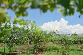 ぶどうの収益性は高いが、栽培のノウハウ習得に時間がかかる