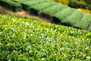 八女茶は香り高く、甘い味わいをもつ高級茶として高い評価を得ている