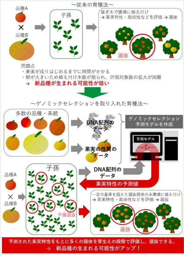 最新のゲノム技術を取り入れた新しい育種法では、親品種を掛け合わせて作った果実の種から芽を出し、その時点でDNA配列のデータを調べて優良個体を抜き出す。芽生えの段階でも、予測モデルとコンピューター解析によって、どのような果実が出来るかある程度わかる。選抜した個体を実が着くまでの大きな木に育てる必要がないため、新品種開発のスピードが大幅に上がる。最近では「ゲノミックセレクション(GS)」や「ゲノムワイド関連解析(GWAS)といった、大量のDNA情報を数学的・統計学的に解析する技術によって予測の精度が上がり適用の範囲も広がっている。(図提供:農研機構)