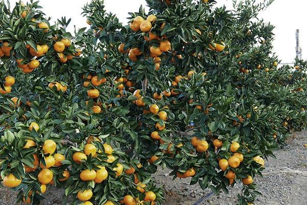 静岡市清水区の興津にある農研機構  果樹茶業研究部門で育てられているみかん。敷地内には交配や育種のために様々な柑橘類が植えられている。現在では作られていない稀少な品種も数多く保存されている。(写真:高山和良)