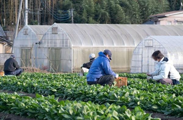 ホウレンソウの収穫作業をする茨城就業支援センターの入所者(写真:新垣宏久)